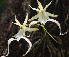 Призрачные орхидеи