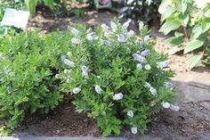 Image result for hebe green globe flowers Globe Flower, Dwarf Shrubs, Flowers, Green, Plants, Image, Plant, Royal Icing Flowers, Flower
