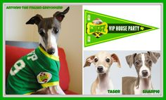 Puppy Bowl / Super Bowl / Italian Greyhound / Antonio the Italian Greyhound / ROMP Italian Greyhounds