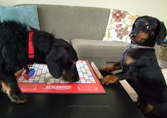 He throws some serious side-eye   10 Reasons Crusoe Is Your New Favorite Dachshund