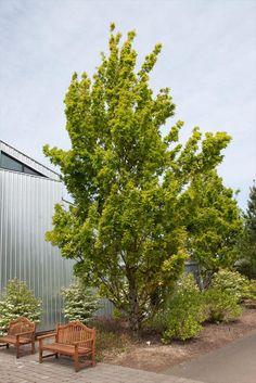 Prairie Stature Oak Quercus X Bimundorum Midwest At St