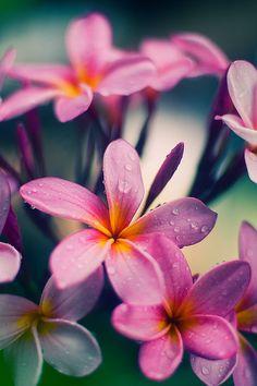 My Mom's Frangipani (Plumeria) _DSC3239 by Fadzly @ Shutterhack on Flickr.