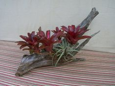 Live Bromeliad Plants in Cedar Wood Tropical Centerpieces, Centerpiece Decorations, Table Centerpieces, Driftwood Centerpiece, Driftwood Planters, Porch Area, Cedar Wood, State Of Florida, Live Plants