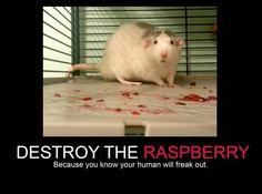 captioned rat pics - Google Search