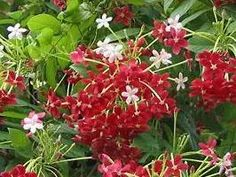 Quisqualis indica, Arbusto-milagroso, Madagascar