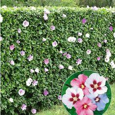Hibiskus-Hecke,5 Pflanzen