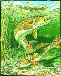 23 Best Reds Images Goldfish Red Fish Saltwater Fishing
