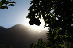 Sunshine and apple trees at Rustic Roots Winery, Cawston, Similkameen Valley, BC. #bcwine #okanagan #canada