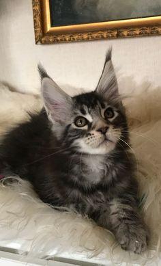 Wir haben wunderschöne Maine Coon Kitten ❤️ www.engelswiese.com