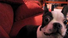 Watch this Very Dramatic Boston Terrier Dog!  ► http://www.bterrier.com/?p=10246 - https://www.facebook.com/bterrierdogs