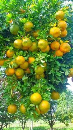 Fruit Plants, Fruit Garden, Edible Garden, Fruit Trees, Trees To Plant, Vegetable Garden, Exotic Fruit, Tropical Fruits, Fresh Fruits And Vegetables