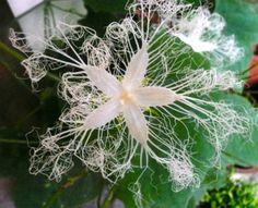 Trichosanthes cucumeroides