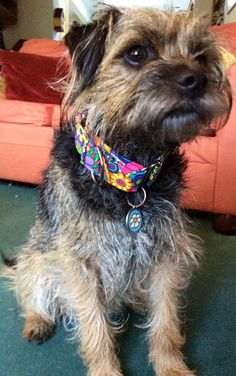 Pig's new collar!