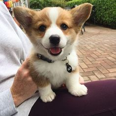 """Receive fantastic recommendations on """"corgi pups"""". They are actually accessible for you on our site. Cute Corgi Puppy, Welsh Corgi Puppies, Corgi Funny, Cute Dogs And Puppies, Pet Dogs, Pets, Corgi Pups, Funny Puppies, Teacup Puppies"""