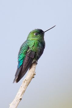 Hummingbirds -- Sapphire-vented Puffleg by Robert Lewis --The subspecies found around Barro Negro have been proposed as a new species, but haven't yet been accepted by many experts. The name proposed is Copper-naped Puffleg.