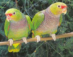 papagaio de peito roxo_ramazona_vinacea Brazilian Birds