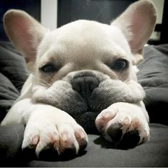 The major breeds of bulldogs are English bulldog, American bulldog, and French bulldog. The bulldog has a broad shoulder which matches with the head. Bulldog Puppies, Cute Puppies, Cute Dogs, Dogs And Puppies, Animals And Pets, Baby Animals, Cute Animals, Cute French Bulldog, French Bulldogs