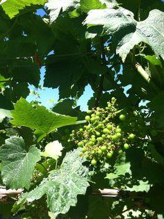 Baby Chardonnay grapes