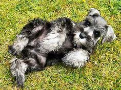 want a toy schnauzer. a toy schnauzer would be a perfect mix with my two minis!i want a toy schnauzer. a toy schnauzer would be a perfect mix with my two minis! Toy Schnauzer, Miniature Schnauzer Puppies, Cute Puppies, Cute Dogs, Dogs And Puppies, Doggies, Most Popular Dog Breeds, Mundo Animal, Dog Life