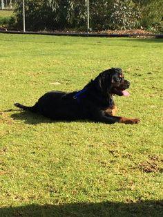 Ebony beagle x cav x pug up for adoption