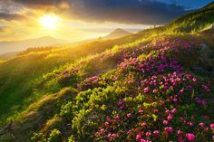 #rhododendron flowers and #hoverla mountain, the highest pick in Ukraine at sunset