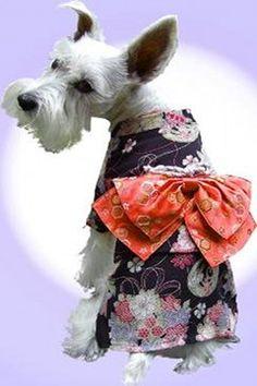 geisha terrier!