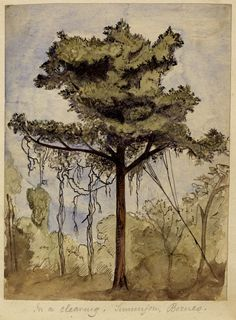 Rainforest tree in a clearing at the Simunjon coalworks, Sarawak, Borneo, by Alfred Russel Wallace, 1855.