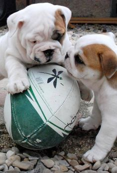 Bulldog puppy play date. Bulldog Puppies, Cute Puppies, Cute Dogs, Dogs And Puppies, Baby Animals, Cute Animals, Fierce Animals, Animal Babies, Puppy Play