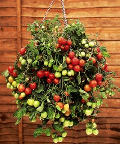 awesome hanging tomato plant that can be grown off your balcony. Wow, a nice one! More on hanging tomatoes: http://www.tomatodirt.com/hanging-tomatoes.html