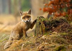 Fotos de hermosos zorros