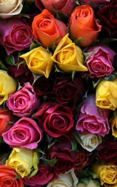 Roses galore! An array of colors! || red, pink, yellow, orange, & white