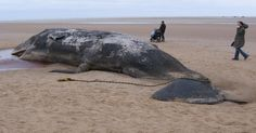 A whale that cleaned ashore dead on the beach in Gwadar 2 days ago was quietly buried by municipality workers on Tuesday afternoon before its body could be checked by experts. Offshore Wind Turbines, Decomposed Body, British Beaches, Gray Whale, North Sea, Marine Life, Climate Change, Mammals, Whales