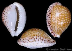 Cribrarula gaskoinii  (Reeve, L.A., 1846)  Gaskoin's Cowry  Shell size  10 - 30 mm  Hawaii - Fiji