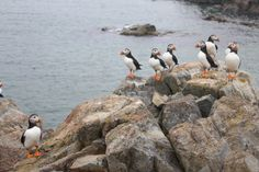 The Puffin season is from April - August in Iceland
