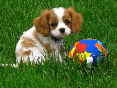 Cavalier King Charles Spaniel puppy @Jamie Wise Wise Wise Wise Wise-Colette Yetman...my puppy has some of this in her