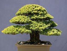 les 25 meilleures id es de la cat gorie comment faire un bonsai sur pinterest comment faire un. Black Bedroom Furniture Sets. Home Design Ideas
