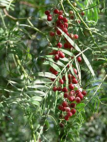 Pepper tree (aka Schinus molle) extremely medicinal tree.  pink (redish) peppercorn is used in cooking, although different from black peppercorn.  Treats depression, leaves can be burned to ward away negative energy, clears chest colds, lowers blood pressure, relieves pain...and the list goes on.