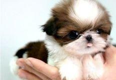 102 Best Japanese Chin Images Japanese Chin Puppies Chin Chin