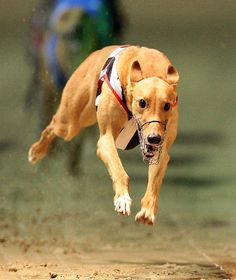 Greyhound photo | Running Greyhound photo and wallpaper. Beautiful Running Greyhound ...