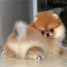 Find Out More On Bold Pomeranian Puppy And Kids - Pompon, my Boo - Puppies Cute Puppies, Cute Dogs, Dogs And Puppies, Doggies, Cute Girl Dog Names, Cute Baby Animals, Funny Animals, Cute Pomeranian, Tier Fotos