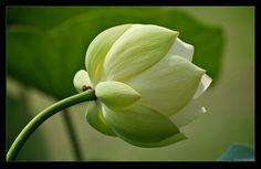 White Lotus Flower | growing white lotus flower pink lotus flower lotus bud pink lotus bulb