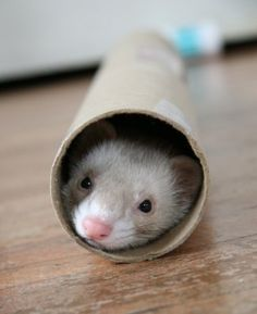 Today in 1999 - Three ferrets named Beckham, Posh Spice and Baby Spice were used to lay power cables for a rock concert being held in Greenwich, London, England, (workers were not allowed to dig up the turf at the Royal Park) and saved the day. No ferret was harmed. But they were well fed! :-D
