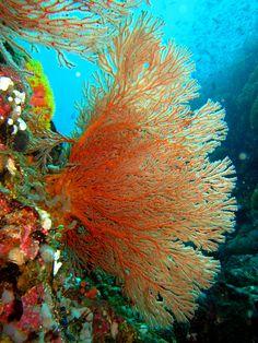 Sea Fan Gorgonian Sea Fan, looks more like a plant than an animal!Gorgonian Sea Fan, looks more like a plant than an animal! Life Under The Sea, Under The Ocean, Sea And Ocean, Pacific Ocean, Underwater Creatures, Underwater Life, Ocean Creatures, Poisson Mandarin, Fauna Marina