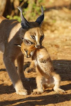 Lince De Caracal  ( Lynx Caracal )
