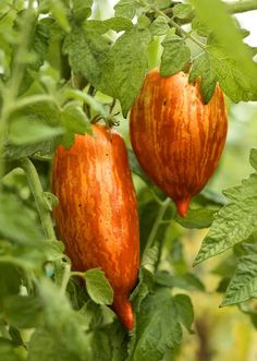 Tomato 'Speckled Roman'. As beautiful as it is tasty, 'Speckled Roman' bears 5- to 6-inch-long paste-type red fruits that are playfully striped with orange and yellow. It's an indeterminate grower, and the fruits ripen about 85 days from transplanting.