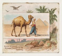 Dromedary, from Quadrupeds series (N41) for Allen & Ginter Cigarettes, 1890