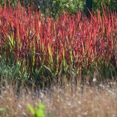 Imagini pentru plante de langa lac poze  iarba roiee Sun Loving Plants, Herbs, Baron, Red, Plant, Herb, Medicinal Plants