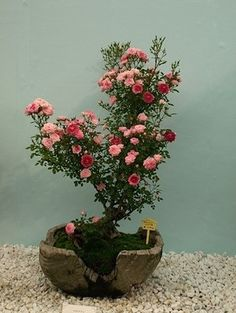 Shades of Pink Rose Bonsai