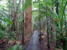 The Rainforest Boardwalk to Saltwater Creek and the Centenary Lakes is one of the highlights of the Cairns Botanic Gardens in Cairns, North Queensland, Australia. The large tree is a giant paperbark (Melaleuca leucadendra). Fraser Island, Melaleuca, Queensland Australia, Cairns, Botanical Gardens, Brisbane, Lakes, Highlights, Sidewalk