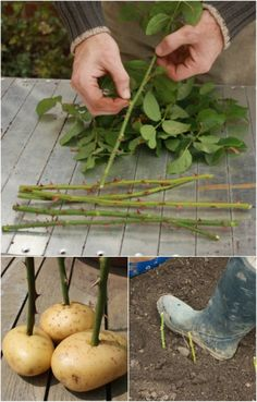 Propagate roses with cuttings—and grow roses in potatoes.